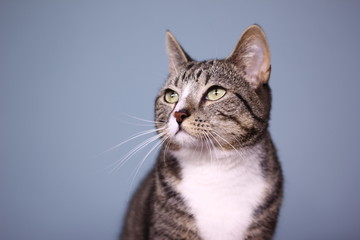 Cat in front of a blue background