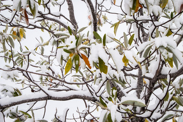 Green leaves on snow covered tree branches