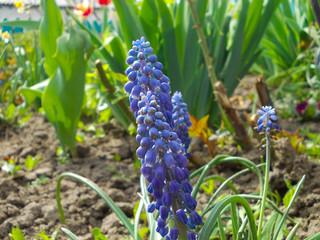 Muscari at flowerbed