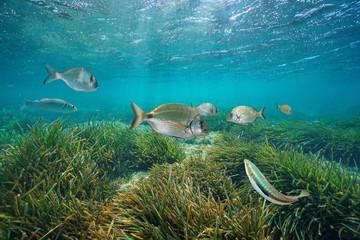 Mediterranean fishes underwater with neptune sea grass below water surface, Cabo de Palos, Cartagena, Murcia, Spain