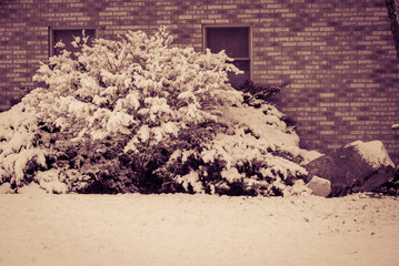 Snow covered bush by brick house and windows
