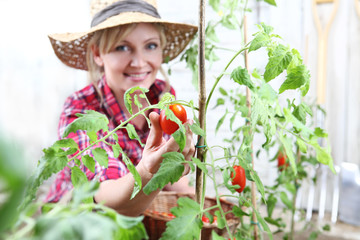 smiling woman in vegetable garden, hand picking cherry tomato close up