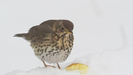 Fotoväggar - Song thrush, Turdus philomelos, single bird in snow, Warwickshire, March 2018