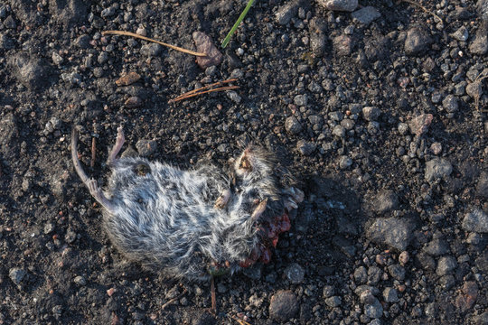 dead mouse lies on the sandy road. accidental death of the mouse. wild dead rodent. small mouse