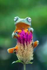 Flying frog on red flower, Javan tree frog