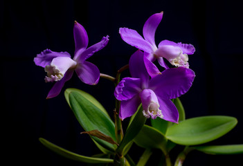 Orchid - Cattleya Skinneri