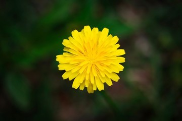 A close up shot of a cute small dandelion flower in natural light.