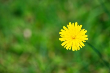 A clsoe up shot of a cute small dandelion flower in natural light.