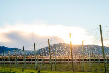 A landscape of hops farm at sunset. Motueka, New Zealand.