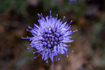 Sheep's-bit (Jasione montana) - family group Campanulaceae. Photo taken in Co Louth. Ireland