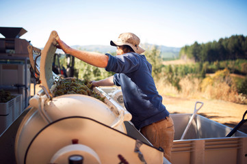 Male farmer loading machinery with grapes on sunny day