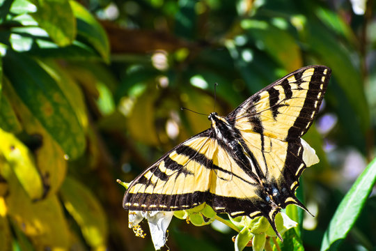 Close up of Western Tiger Swallowtail (Papilio rutulus) resting on a flower, San Francisco bay area, California