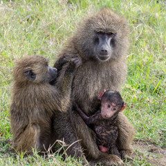 Baboon Mother, Infant and New Born in the Maasai Mara