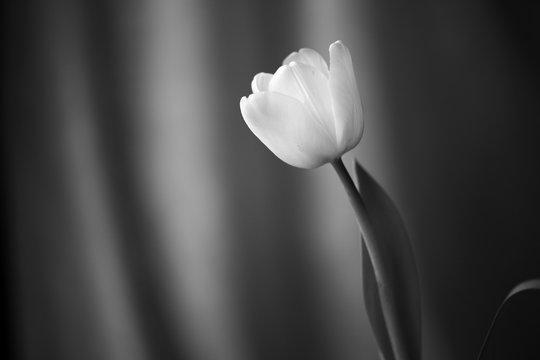 Beautiful tulip lit with daylight close up. Black and white