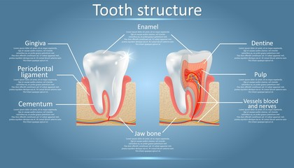 Vector dental anatomy and tooth structure diagram