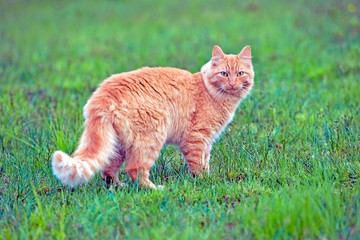 Orange tabby Cat in a green grass meadow, watching.