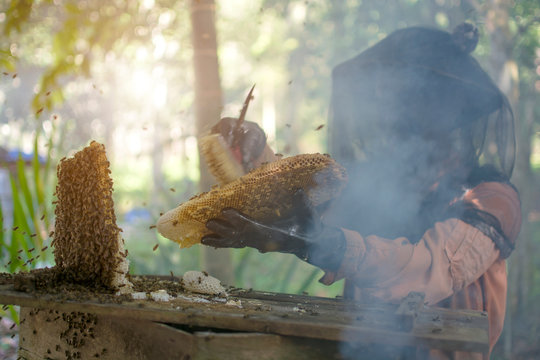 Asian beekeeper holding a honeycomb full bees with protective workwear brushing the bee and calm bees by smoke before removal, Thailand.