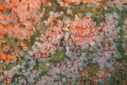 Orange and Pink anemone deep underwater of Pacific Ocean
