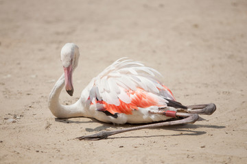 beautiful pink flamingo sits on the yellow sand and rests