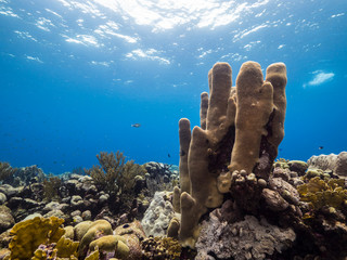Seascape of coral reef in Caribbean Sea around Curacao at dive site Barracuda Point  with pillar coral, various coral and sponge