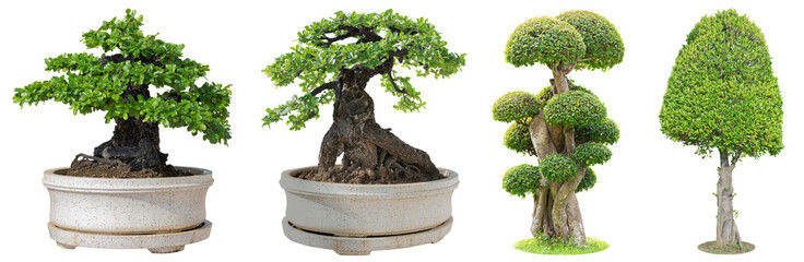 Fototapeten Bonsai Bonsai trees isolated on white background. Its shrub is grown in a pot or ornamental tree in the garden.