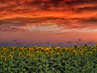Fototapeten Sonnenblume Sunset over the field Sunflowers