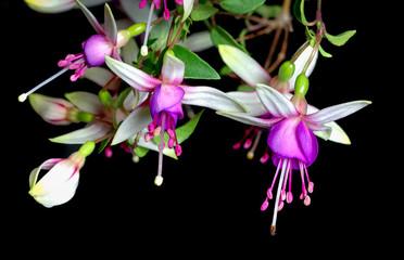 close up  beautiful pink fuchsia