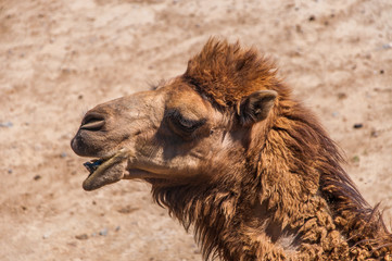 Close up camel head in zoo.