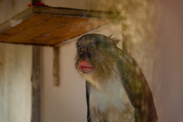 Adult monkey in the zoo.