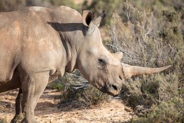 South Africa, Aquila Private Game Reserve, Rhino, Rhinoceros