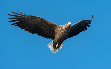 Adult White-tailed eagle in flight. Blue sky background. Scientific name: Haliaeetus albicilla, also known as the ern, erne, gray eagle, Eurasian sea eagle and white-tailed sea-eagle. Fototapete