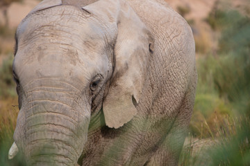 South Africa, Aquila Private Game Reserve, Elephant, Loxodonta Africana