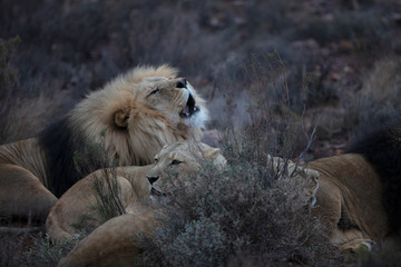 South Africa, Touws River, Aquila Private Game Reserve, Lions, Panthera leo