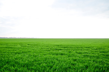 Field of young green barley