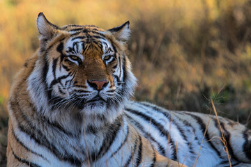 Photo sur Plexiglas Tigre Portrait of a male tiger - Tiger Canyons Game Reserve - South Africa