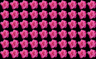 Pink roses with black background with copy space, idea or concept for a romantic message, proposal, Valentine day, or seamless pattern for wallpaper or backdrop inspiration