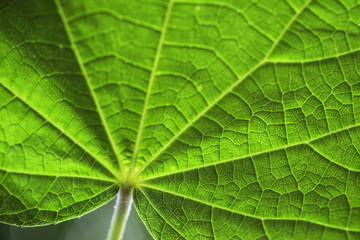 Close up of a green leaf with backlight and with selective focus showing texture
