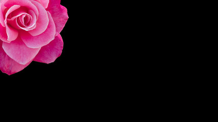 One cropped pink rose banner or background with copy space, idea or concept for a romantic message, proposal, Valentine day, or seamless pattern for wallpaper or backdrop inspiration