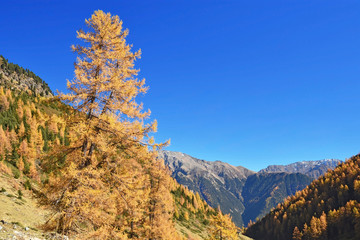 Alpine landscape in autumn with yellow larch under blue sky in the foreground, rocky mountains in the background. Tyrolean Alps, Austria. Copy space