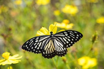 Blue Tiger Butterfly On Flower