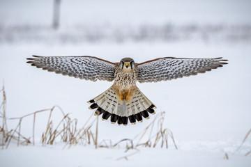 hawk hovering Fototapete