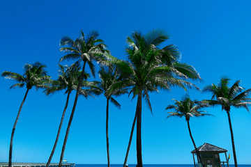 Group of close up tall palm trees in a row over clear blue sky in Deerfield beach, Florida, USA