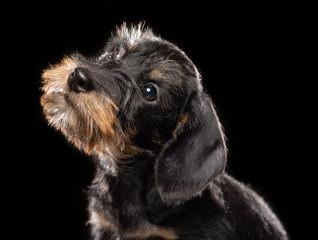Coarse dachshund puppy dog on Isolated Black Background in studio