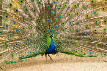 portrait of beautiful peacock in the park