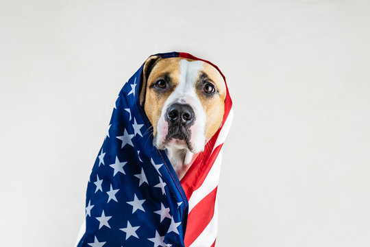 American patriotic dog concept. Funny staffordshire terrier wrapped in USA flag in studio background