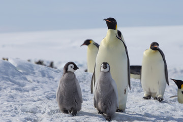 Papiers peints Antarctique Emperor penguin chicks in antarctica