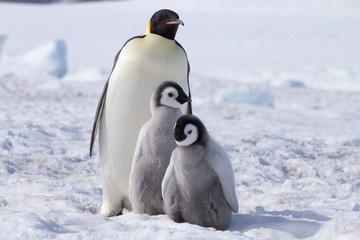 Poster Antarctica Emperor penguin chicks in antarctica