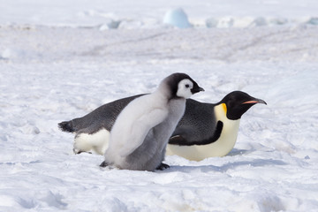 Fotobehang Pinguin Emperor penguin chick in antarctica