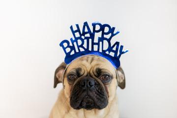 Cute pug dog wearing a blue Happy Birthday hat