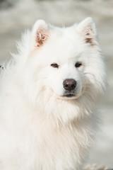 white samoed dog. sand on a background